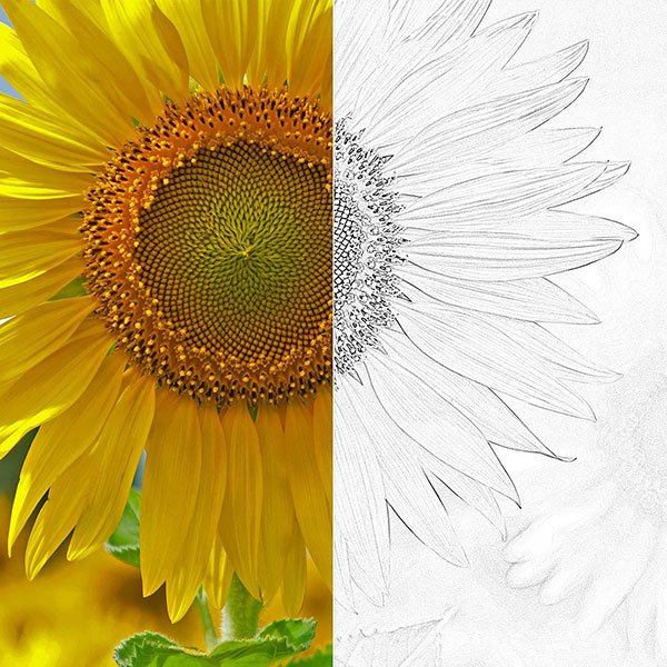 Edge Sketch Sunflower