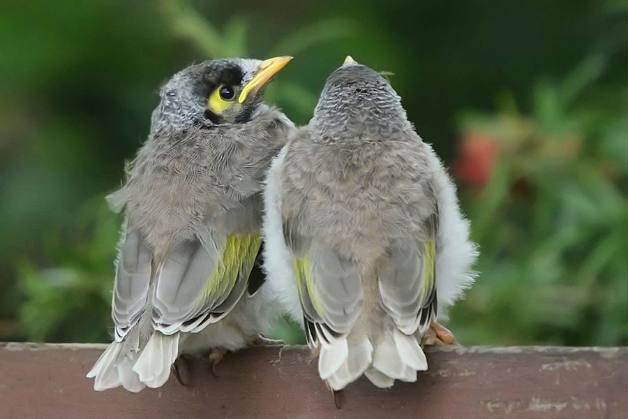 Noisy Miner Siblings After